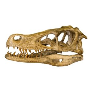 Dinosaur Gifts for Adults - Replica Velociraptor Skull